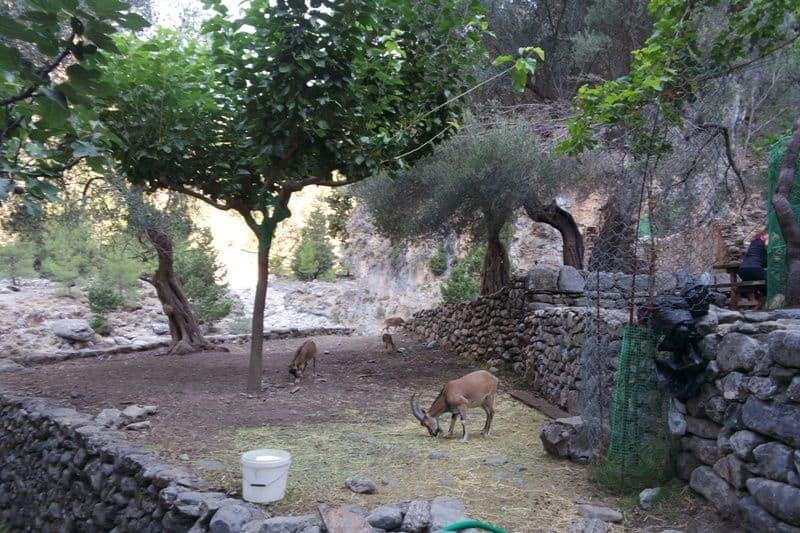 Cretan Kri Kri at the Samaria Gorge