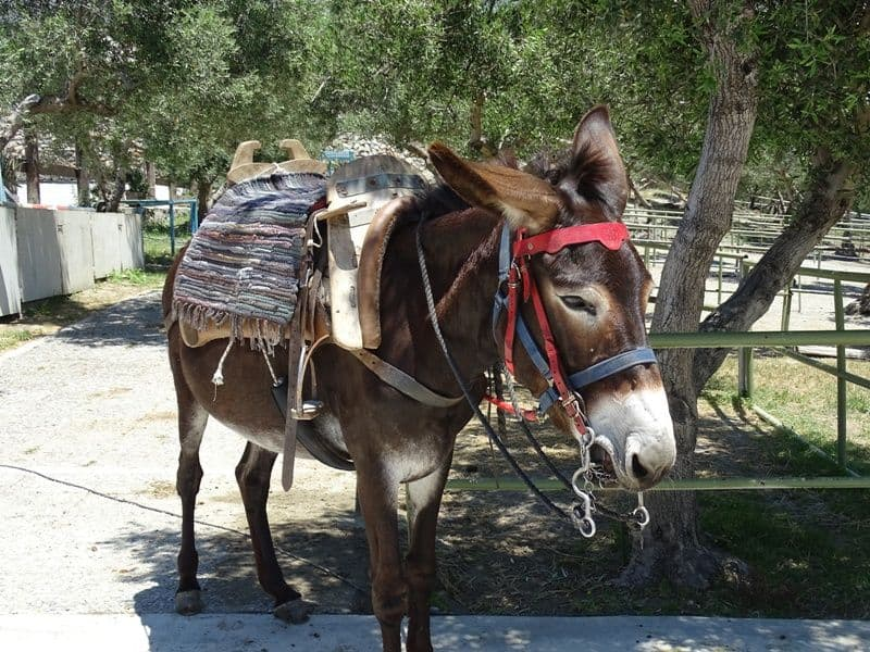 Cute donkey at Alianthos Stables
