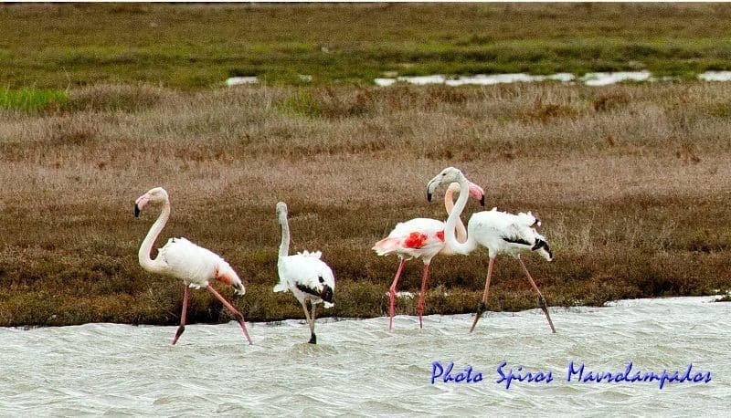 Flamingos in Lemnos island