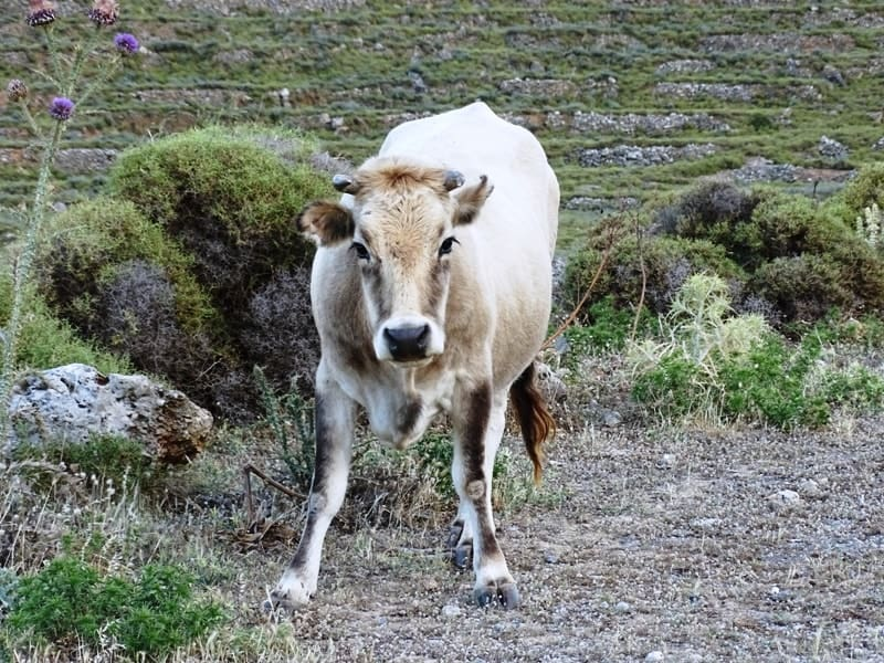 a cow in Mani