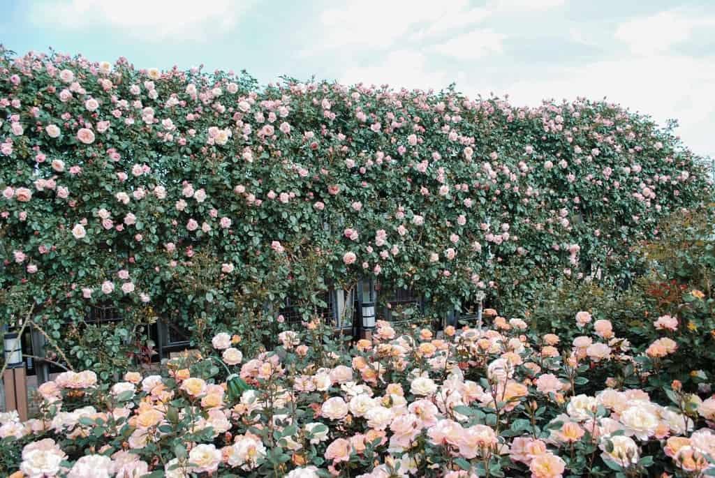 goesagn-gokseong-rose-festival