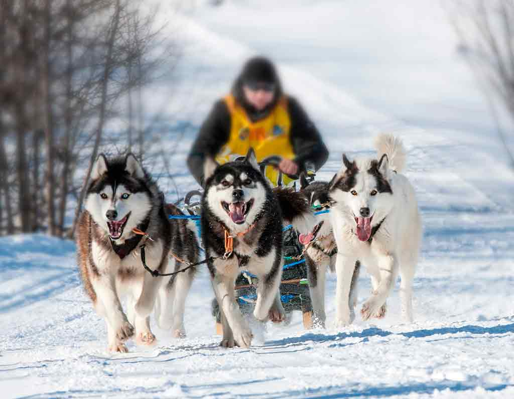 things to do in Riga in winter Dog-Sledge