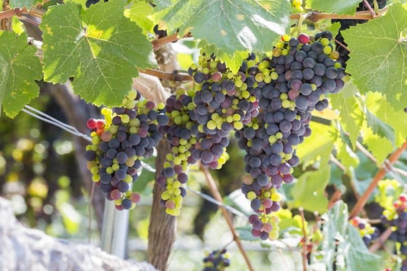 visit the wineries in Lefkada